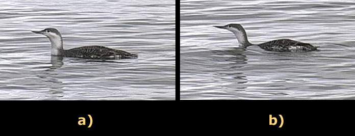 a) a Red-throated Loon before feather compression b) a Red-Throated Loon after feather compression
